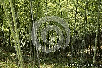 Bamboo - shooting ZeYa, wenzhou, zhejiang, China