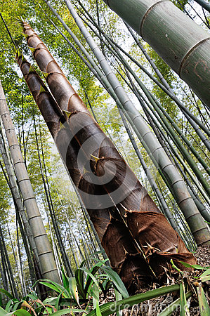 The towering bamboo shoots