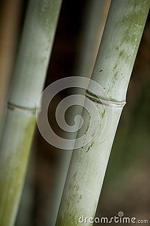 Bamboo Stalk 1