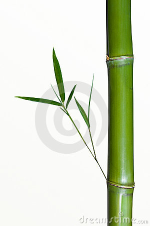 ... closeup of a bamboo stalk or shoot with new growth. White background