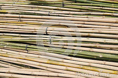 Bamboo stalks in bundle