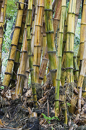 Bamboo Stems Royalty Free Stock Photos - Image: 12951748