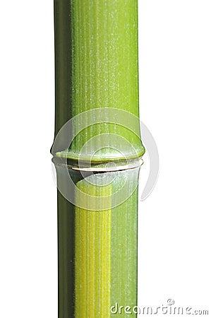 Bamboo tem