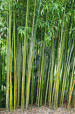 Bamboo thickets.