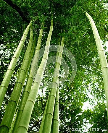 Free Bamboo Tree 02 Stock Photos - 4082823