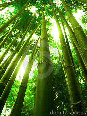 Bamboo Tree Stock Images Image