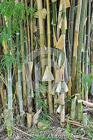 Bamboo tree.