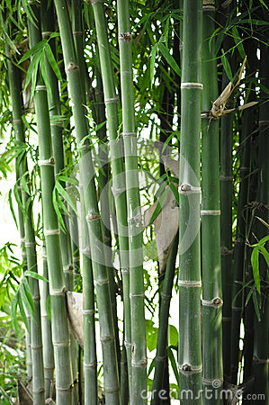 Bamboo tree in the garden
