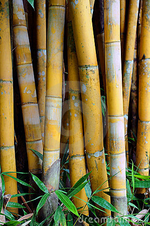 Bamboo tree and leaves