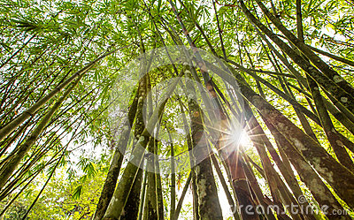 Bamboo Tree VI
