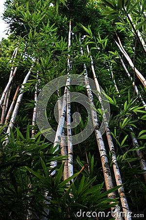 Free Bamboo Trees Royalty Free Stock Photography - 1746407