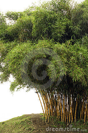 Free Bamboo Trees Royalty Free Stock Images - 7133319