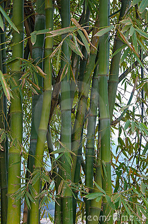 Free Bamboo Trees Stock Images - 9269674