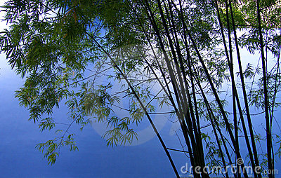 Bamboo trees in grove