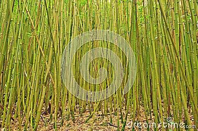 Bamboo trees in Hana, Maui