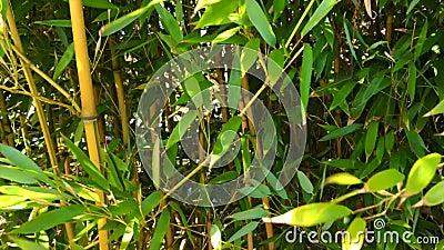 Bambusowy las z w górę wiatru zbiory