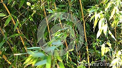 Bambusowy las z w górę wiatru zbiory wideo