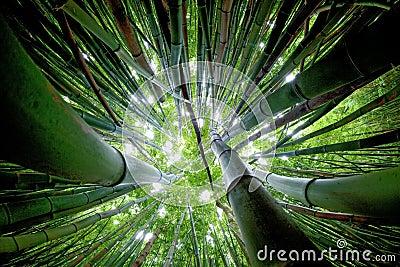 Bambusowy lasowy Maui