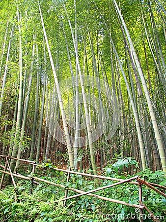 bambuswald gesch tzt durch sperre. Black Bedroom Furniture Sets. Home Design Ideas