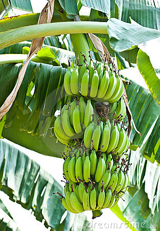 Free Banana Bunch On Tree In The Garden Royalty Free Stock Photography - 17677817