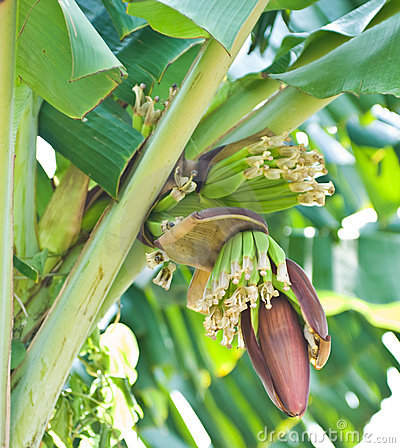 Free Banana Bunch On Tree In The Garden Stock Photography - 17677822