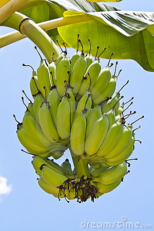 Free Banana Bunch On Tree In The Garden Royalty Free Stock Image - 19415176