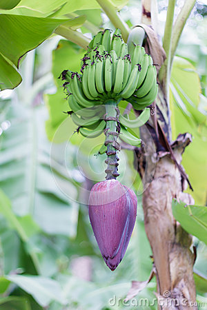 Free Banana Flower Stock Photos - 33772023