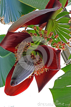 Free Banana Flower Stock Photo - 34943080