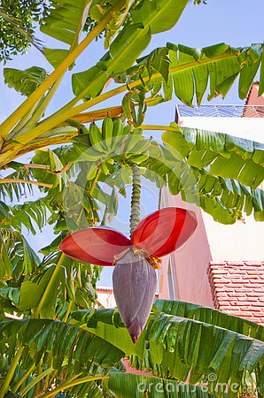 Free Banana Flower Stock Photo - 74173390