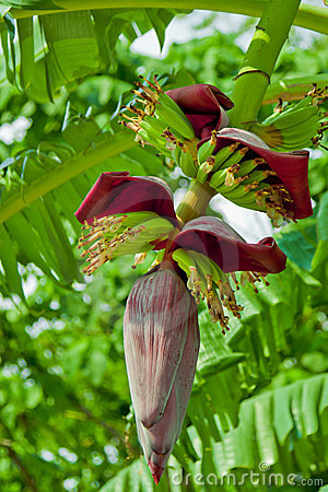 Free Banana Flower With Small Fruits Royalty Free Stock Images - 20419619