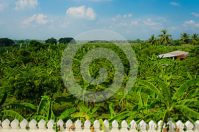 Banana Forest in Rural area of Thailand