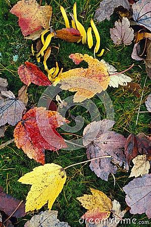 Banana Fungus and Autumn Leaves