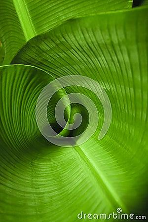 Free Banana Leaf Curl Stock Photo - 5644710
