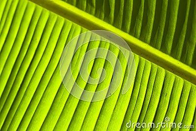 Banana leaf detail (1)