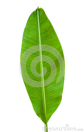 Free Banana Leaf Isolated Royalty Free Stock Photography - 29293297