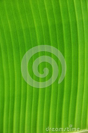 Banana leaf texture detail