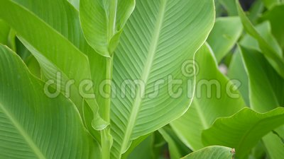 Banana leaf wall. Large tropical fresh green banana tree leaves. Natural tropical exotic background.  stock footage