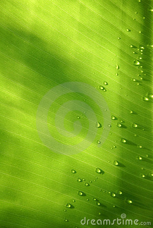 Free Banana Leaf With Drops Stock Images - 239624