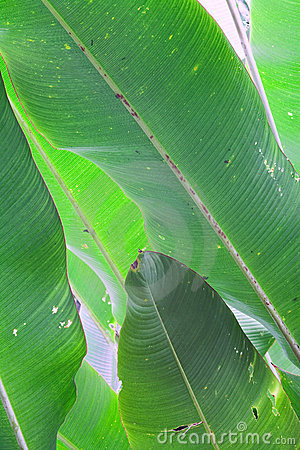 Banana leafs green tropical background