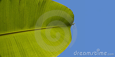 Banana palm leaf on blue