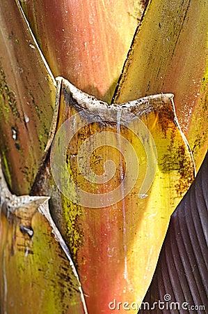 Banana palm (Musa Acuminata Colla) trunk