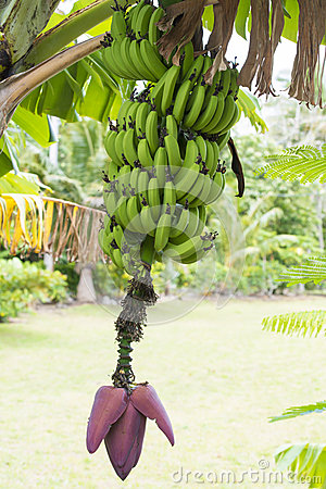 Banana plant with Bloom and Fruits