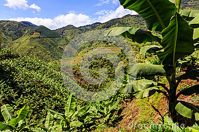 Banana plantation in the mountains