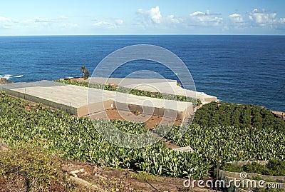 Banana plantation with orange trees