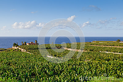 Banana Plantation in Tenerife, Spain