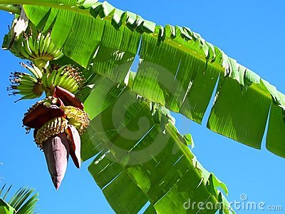 Banana s growing on tree