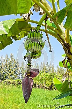 Banana Tree With Fruit Royalty Free Stock Photo - Image ...