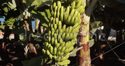 A banana tree with a large harvest of green bananas. Banana tree with a bunch of green growing raw banana. A banana tree with a large harvest of green bananas stock footage