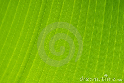 Banana tree leaf detail