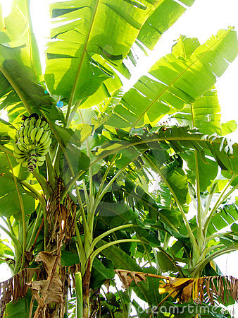 Banana tree organic plantation